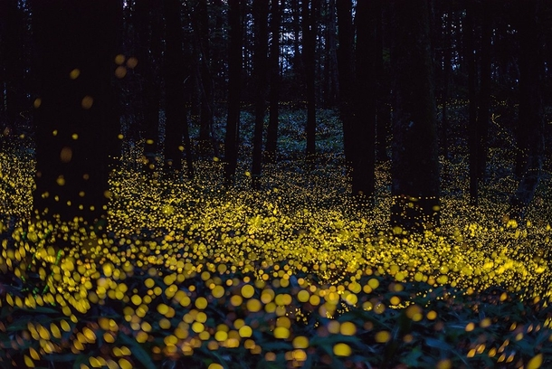 fireflies-lighting-up-the-forest-night-by-tsuneaki-hiramatsu-okayama-japan--34875